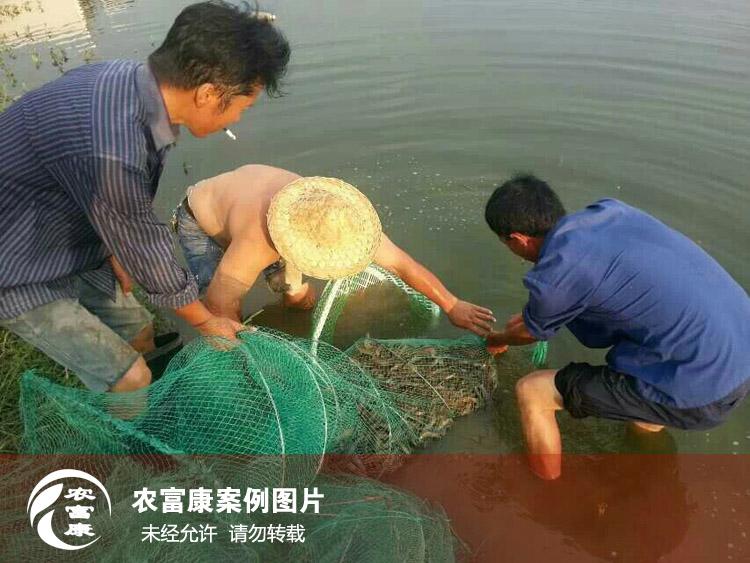 大棚养虾使用em菌液