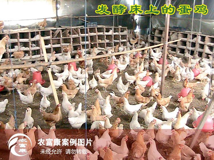 12博体育床养蛋鸡