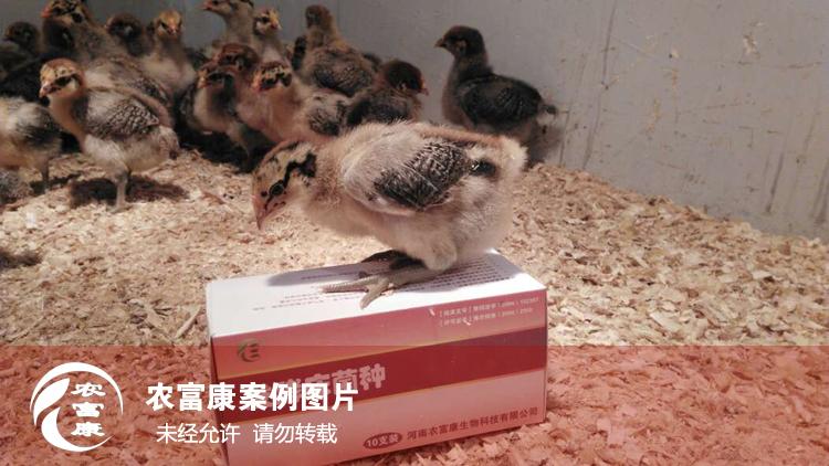农12博体育12博体育床养育雏鸡
